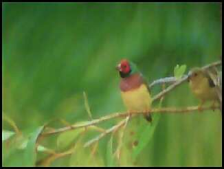 gouldian finches in the wild