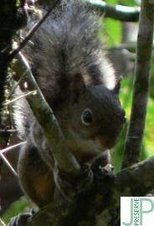 Esquilo Caxinguelê