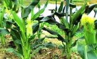 驗證CNT發揮土壤的生命力