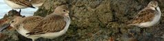 Dunlin   Λασποσκαλιδρα