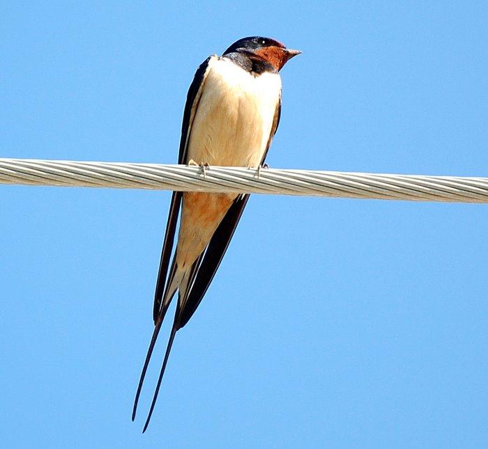 Barn swallow   Σταυλοχελιδονο