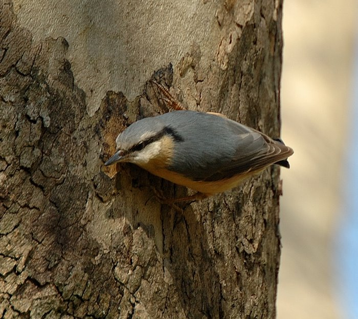 Wood nuthatch   Δεντροτσομπανακος