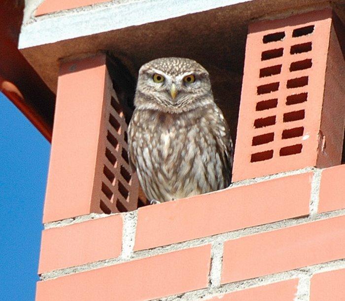 Little owl   Κουκουβαγια