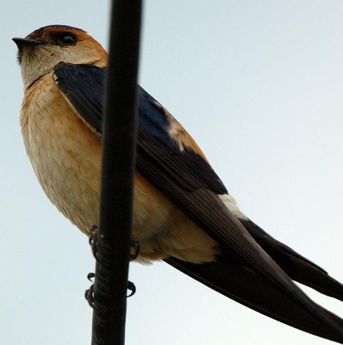 Red-rumped swallow   Μιλτοχελιδονο