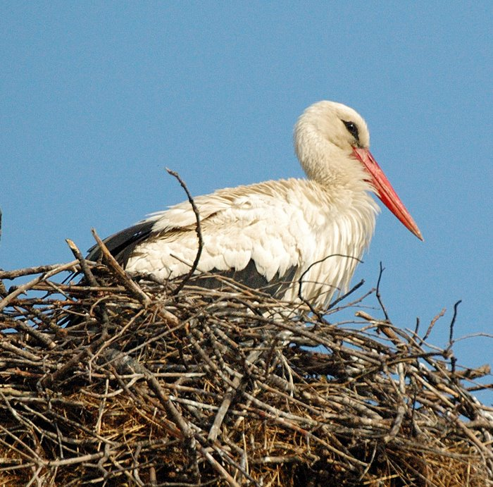 White stork   Λευκοπελαργος