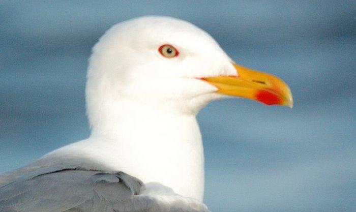 Yellow-legged gull   Κιτρινοσκελης ασημογλαρος