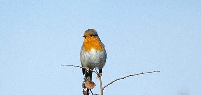 European robin   Κοκκινολαιμης