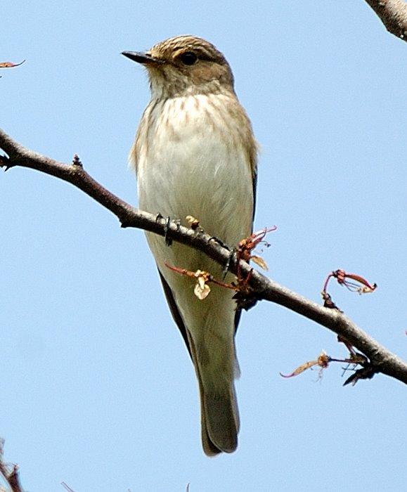 Spotted flycatcher   Σταχτομυγοχαφτης