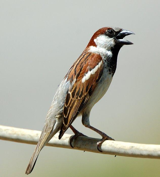 House sparrow   Σπιτοσπουργιτο