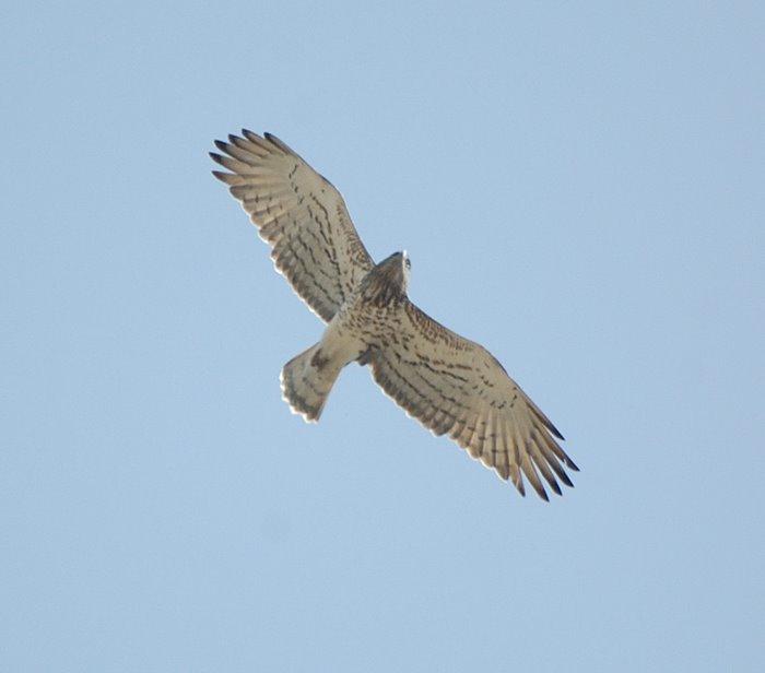 Short-toed eagle Φιδαετος