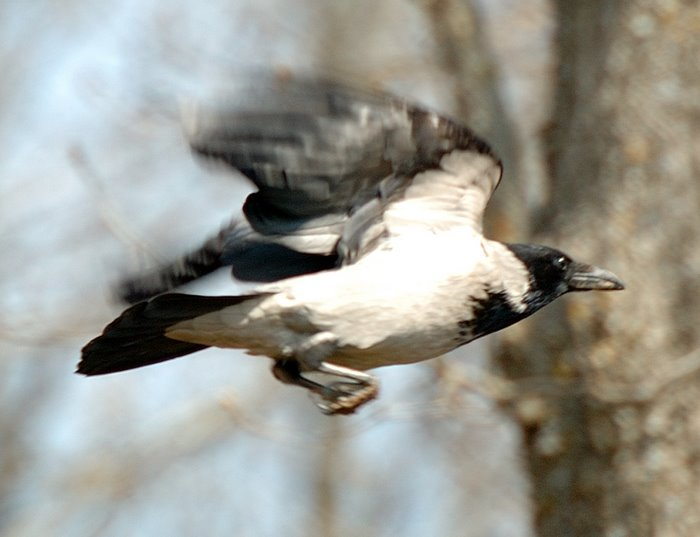 Hooded crow   Σταχτοκουρουνα