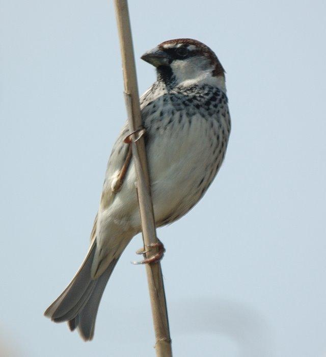 Spanish sparrow   Χωραφοσπουργιτο