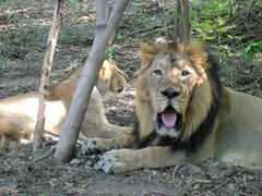 Asiatic Lion Couple