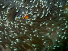 Anemone and attending anemone fish (Amphiprion ocellaris)