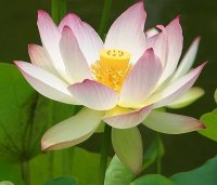 Be A Beautiful Lotus :)!