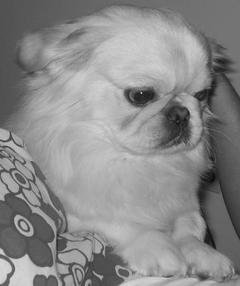 Featured Peke of the Week!