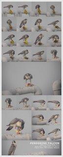 Peregrine Falcon feasting on a Black-naped Oriole