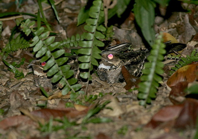 Large-tailed Nightjar mating