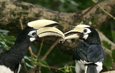 Courtship feeding between a pair of Oriental pied hornbills. Photo by: Chan Yoke Meng http://www.besgroup.org