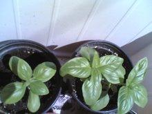 albahaca (espècies i PAM collita pròpia)