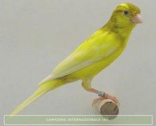 Execente ejemplar pío en amarillo y bruno