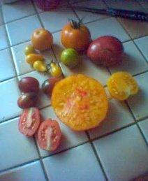 tomates, l'année dernière