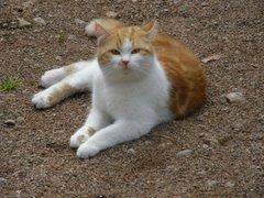 Purre-kissa