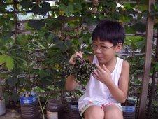ilang-ilang seeds (Cananga odorata)