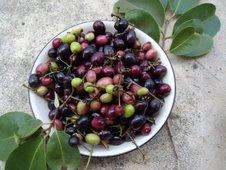 Black plum (duhat)