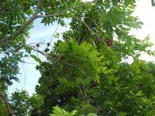 ripening siniguelas