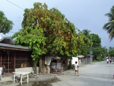 fruit-laden bignay tree in Aliaga, Nueva Ecija, Philippines
