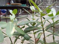 bitaog or alexandrian laurel (Calophyllum inophyllum)