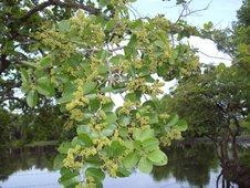 Binayuyu tree