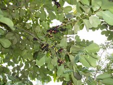duhat or black plum (Syzigium cumini)