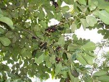 duhat or black plum (Syzigium cumini)