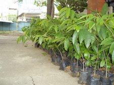 anonas seedlings (Anona reticulata)