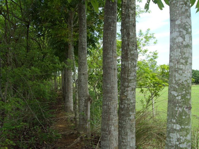 Neat row of mahogany trees...