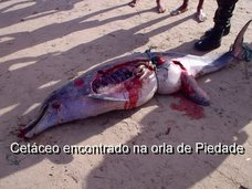 Cetáceo Morto na Orla de Piedade!!!