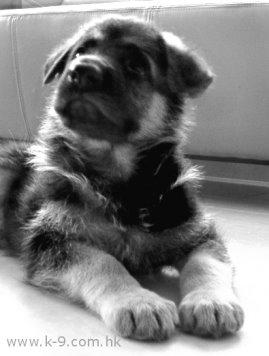 小狼狗今年四歲了,今天收到牠死訊,極可惜了