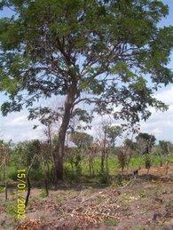 Dowadowa Tree