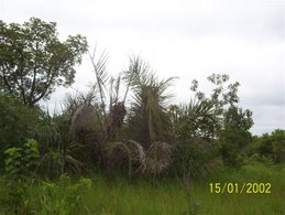 Palmnut Tree