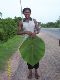 Azara with Teak Leaf
