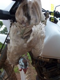 Guinea Fowl tied to Motor Bike