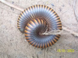 Giant Millipede (like at the Space and Science Center)