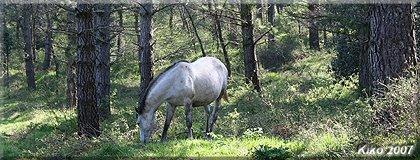 Ganado equino en el pinar