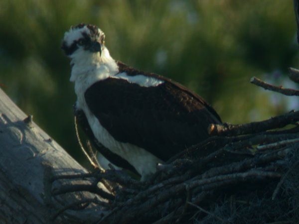 Osprey on Nest in Early Morning