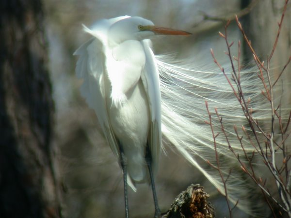 Great Egret Desires Mate