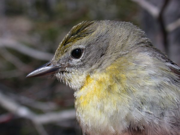 Second-year Pine Warbler