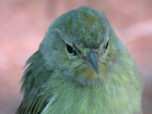 Second-year Orange-crowned Warbler