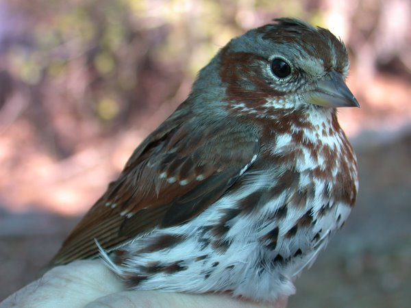 Fox Sparrow